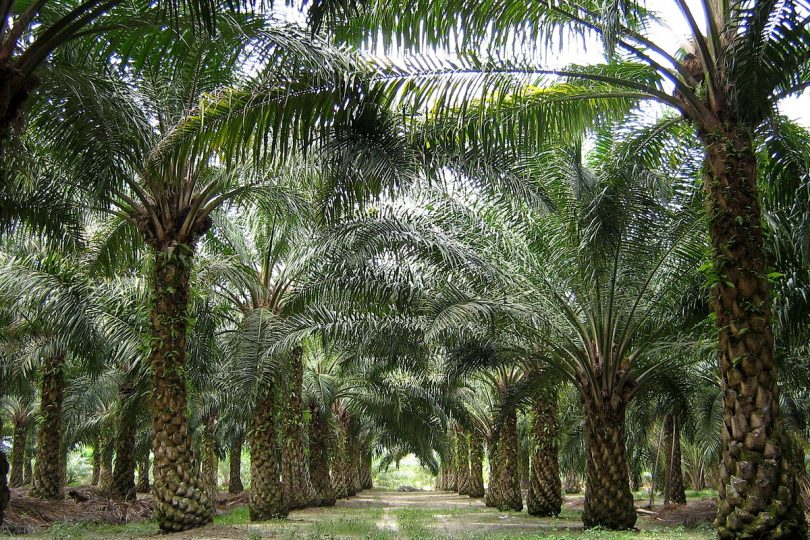 oil plams Malaysia